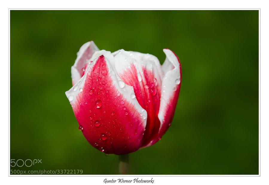 Photograph tulip by Gunter Werner on 500px