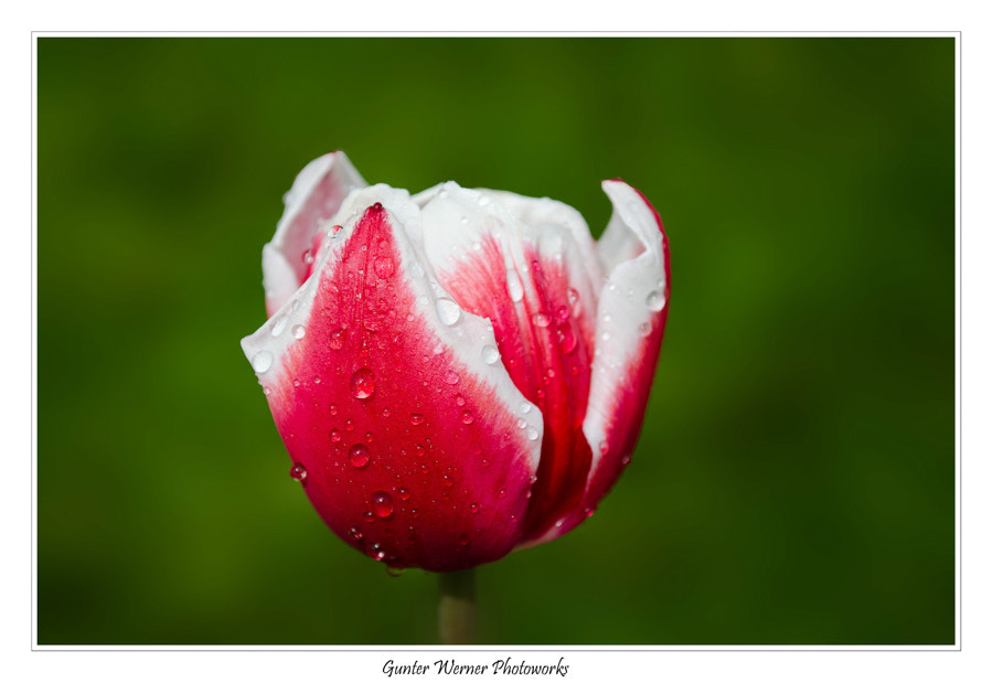 Photograph tulip by Gunter Werner on 500px
