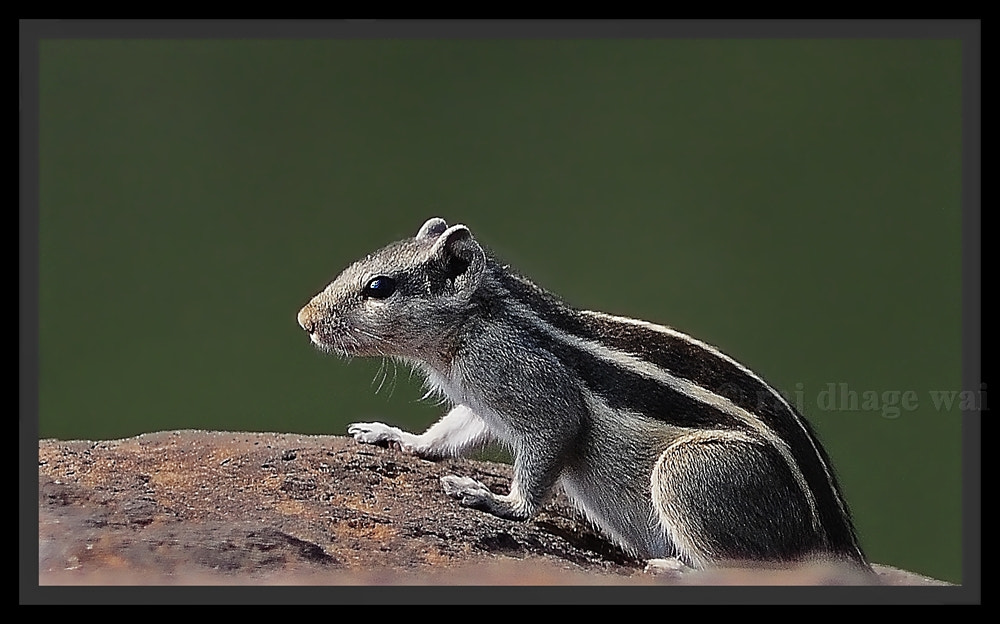 Photograph squirrel by raj dhage on 500px