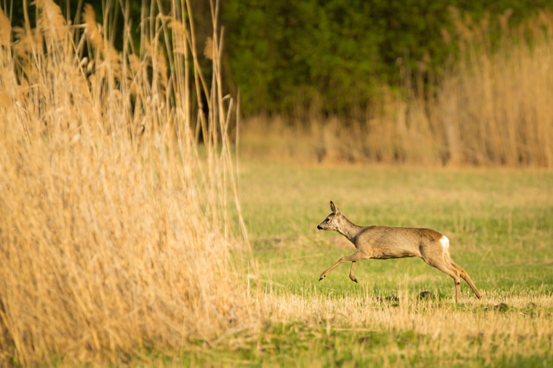Photograph Doe on the run by Ales Gola on 500px