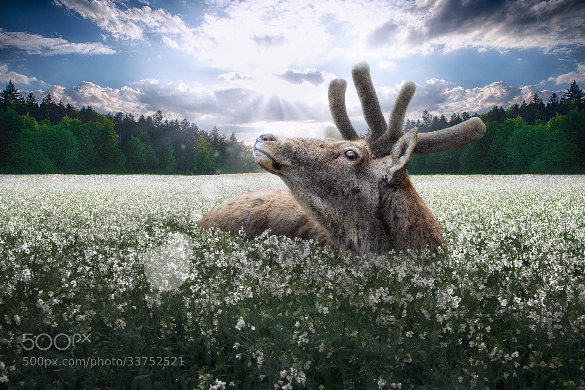 Photograph Just a startled deer by John Wilhelm is a photoholic on 500px