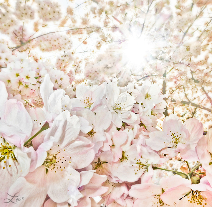 Photograph Cherry Blossom Fantasy by Laura Knauth on 500px