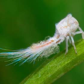 Radiant Planthopper