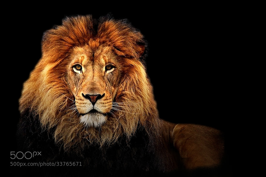 the old lion by wise photographie (wise-photographie)) on 500px.com
