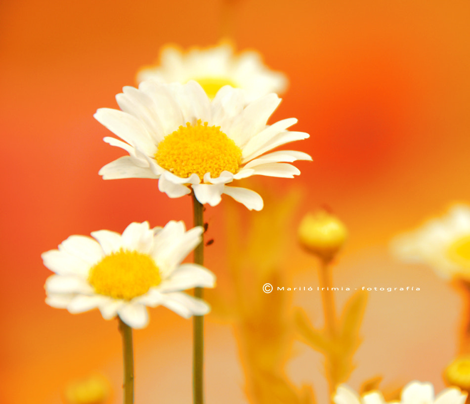 Photograph white daisies by Mariló Irimia on 500px
