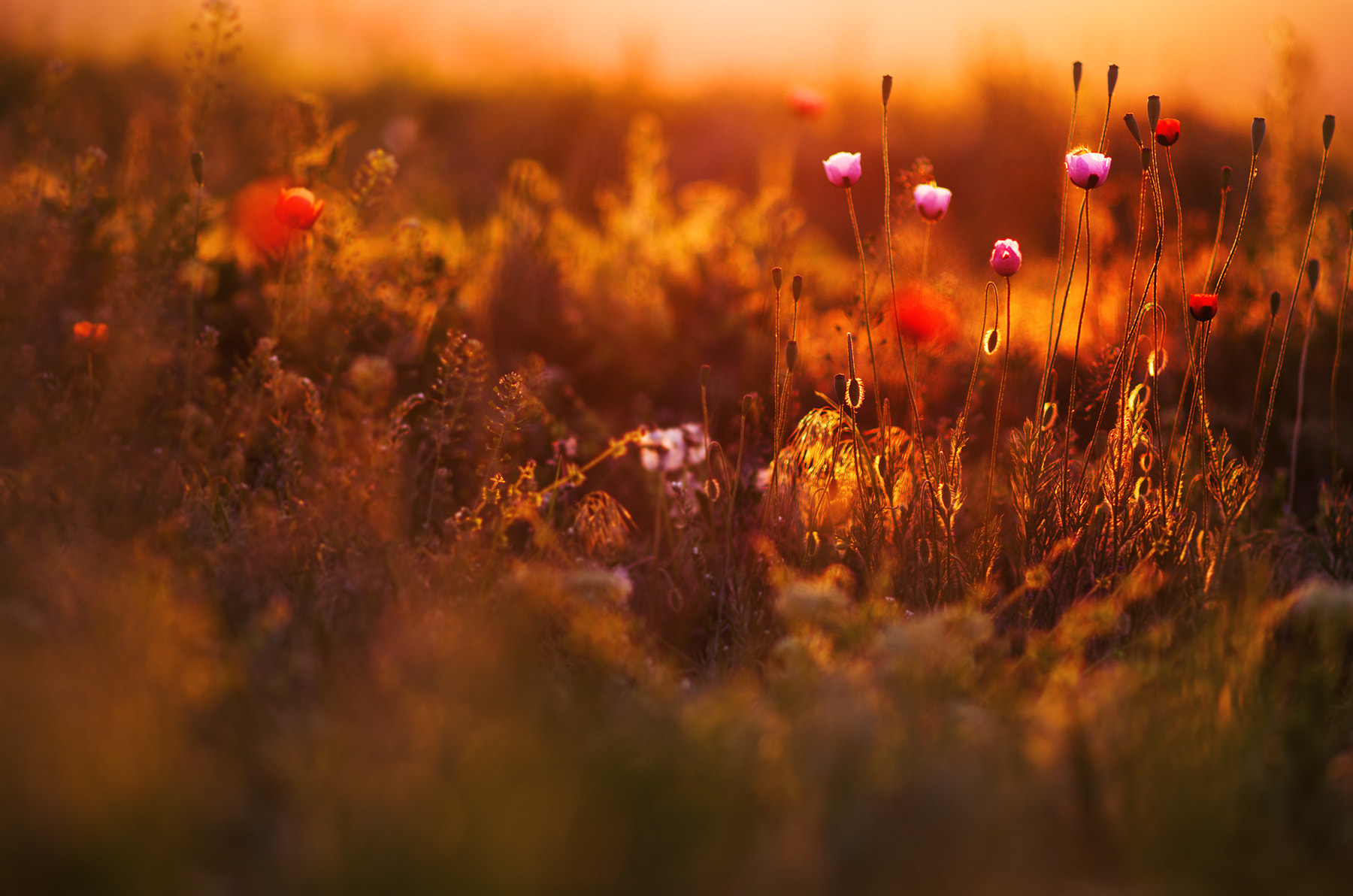 Photograph poppies in the morning by Cristi Jora on 500px