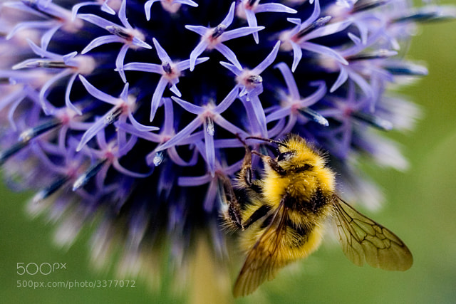 Photograph Bumblebee by Jackson Lee on 500px