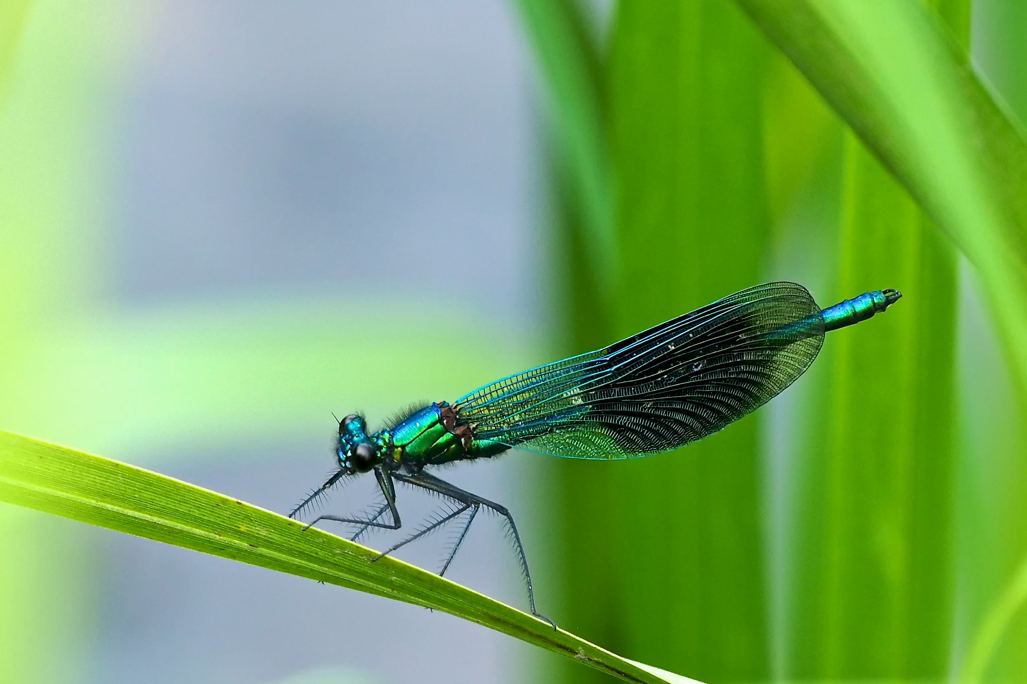 Photograph Banded Demoiselle by John Purchase on 500px