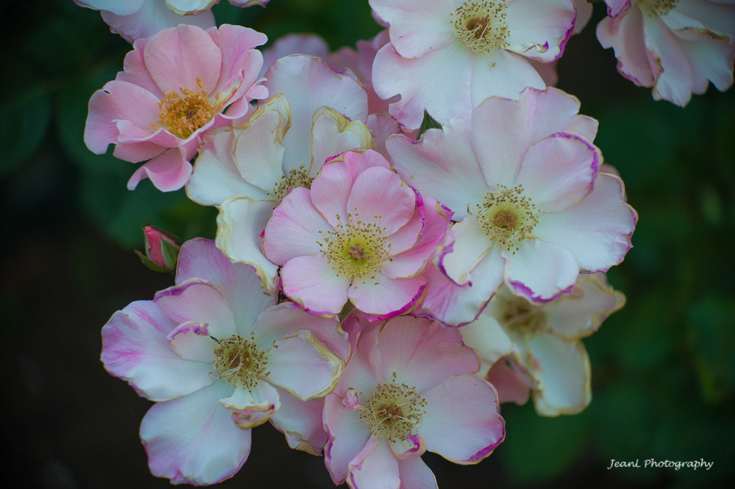 Photograph Shrub Rose 'Sparrieshoop' by Jean Li on 500px