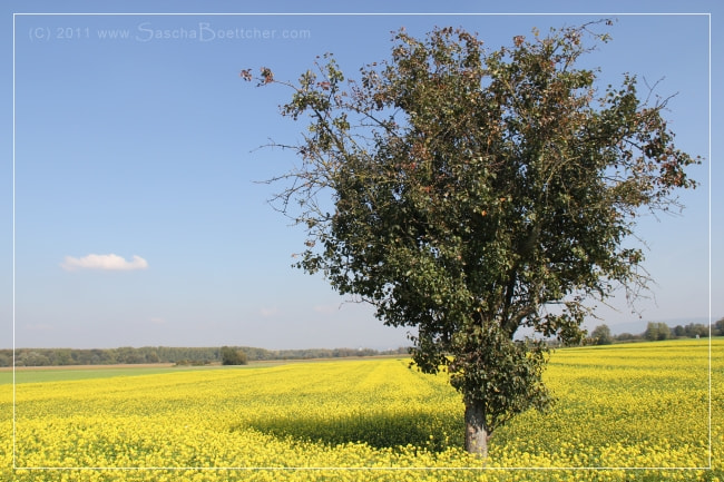 Photograph Tree in a yellow sea I by Sascha Böttcher on 500px