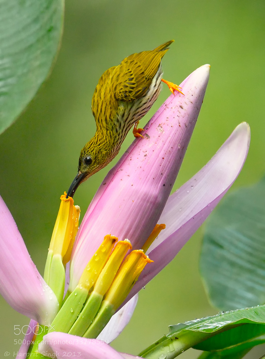 Photograph Spiderhunter Flower Visit by Harprit Singh on 500px