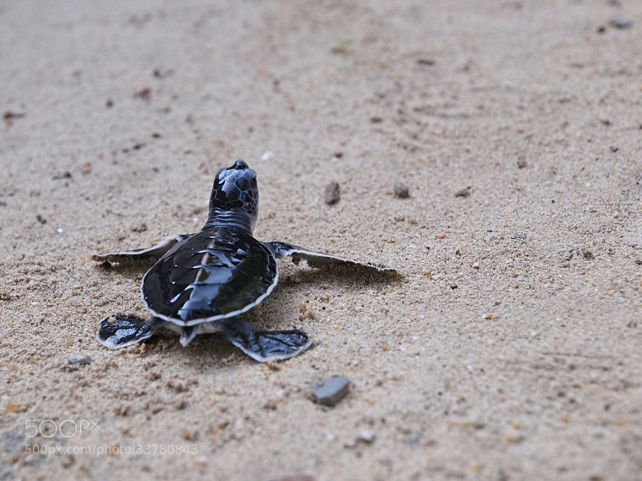 Photograph Green Turtle Hatchling by Bitty Chong on 500px
