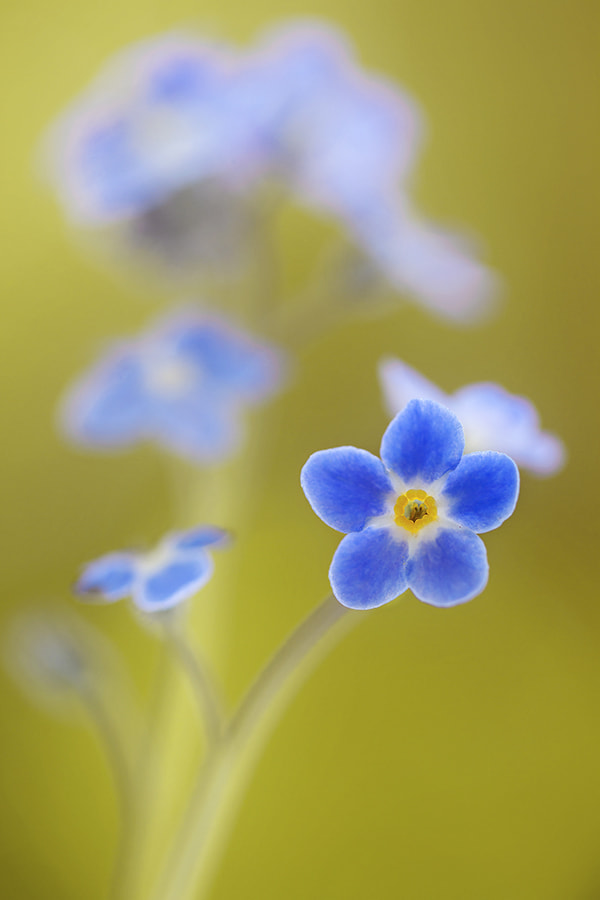 Photograph Forget me nots by Mandy Disher on 500px