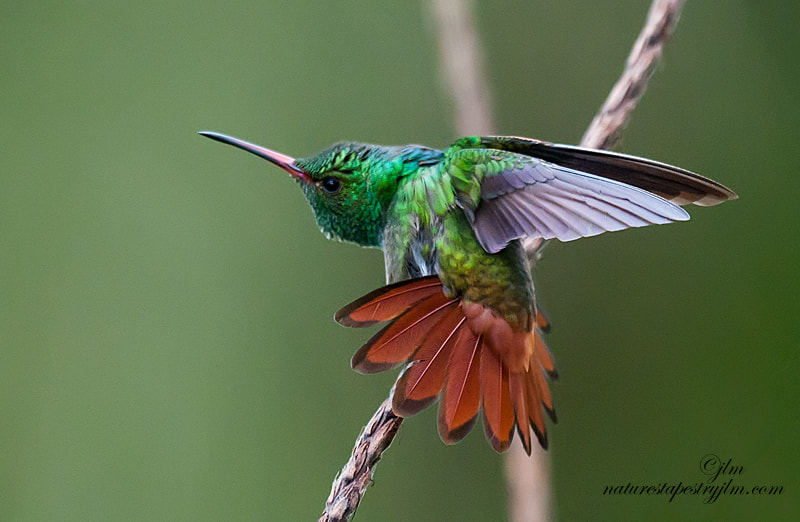 This is another image from Costa Rica taken in Laguna.  There are so many species of hummingirds in Costa Rica that it can become quite confusing but I believe I have named this one correctly.