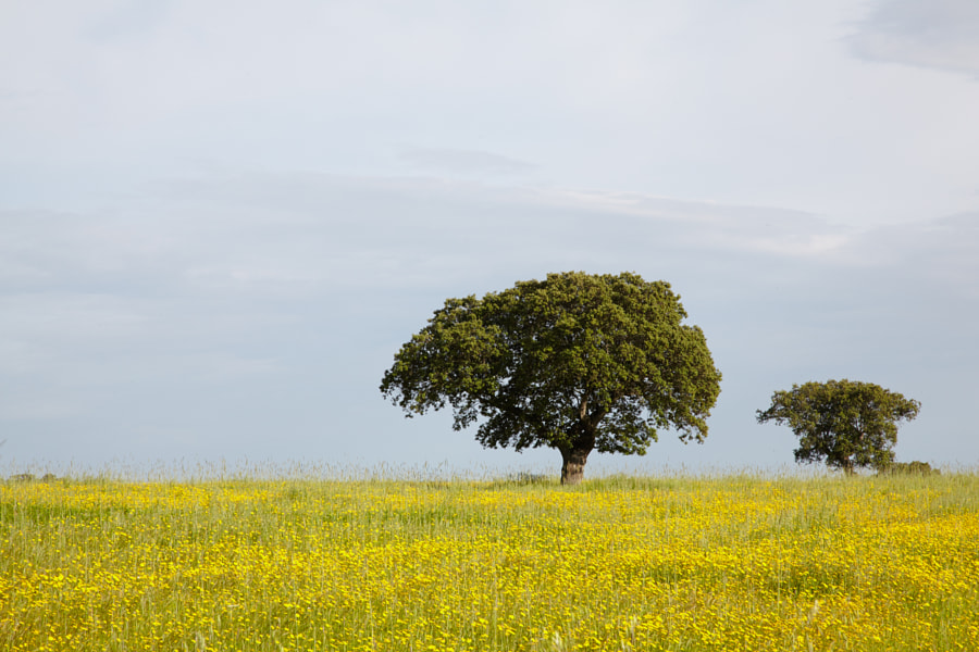 Dehessa landscape with yellow flowers