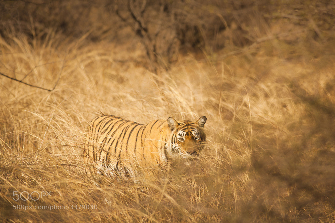 Photograph Tiger in fields by Larissa Lognay on 500px