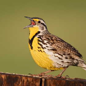 Western Meadowlark : Burns, OR by Michael Milicia (Mike_Milicia)) on 500px.com