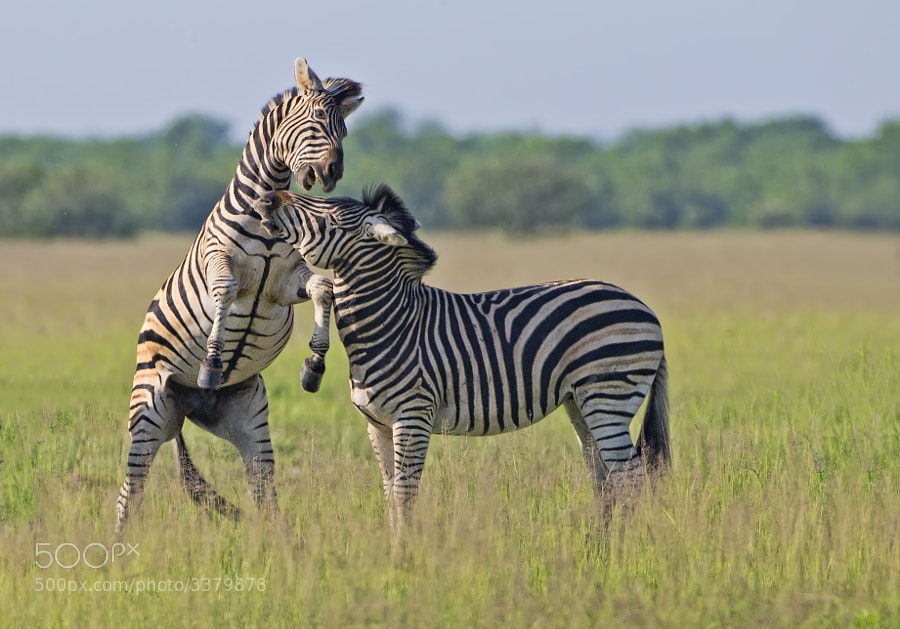 Two frisky Zebra, mock battle on the Savute plains iin Botswana