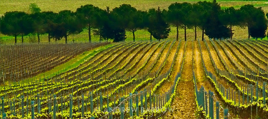 Photograph Carpetino Vineyards, Tuscany by Andrew Barrow LRPS on 500px