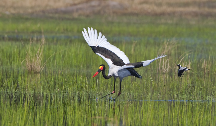 Blacksmith's Plovers are not only known for the noise they make but also their fiestyness, here one is seeing off a Saddle Billed Stork, taken in Kwara concession, Botswana