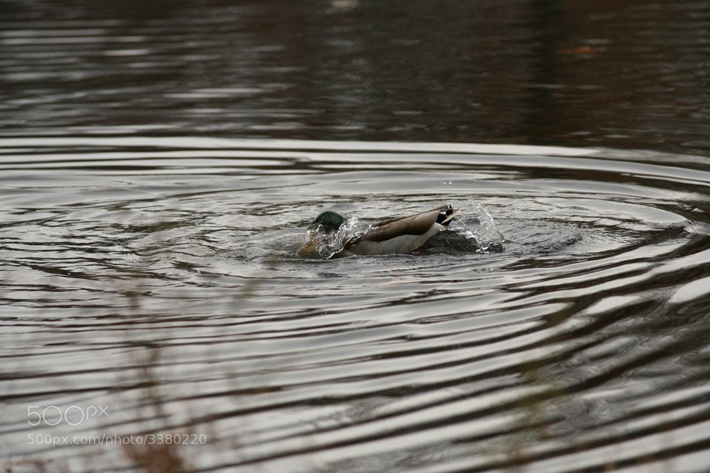 Photograph Bathing Mallard by Robert Ocasio on 500px