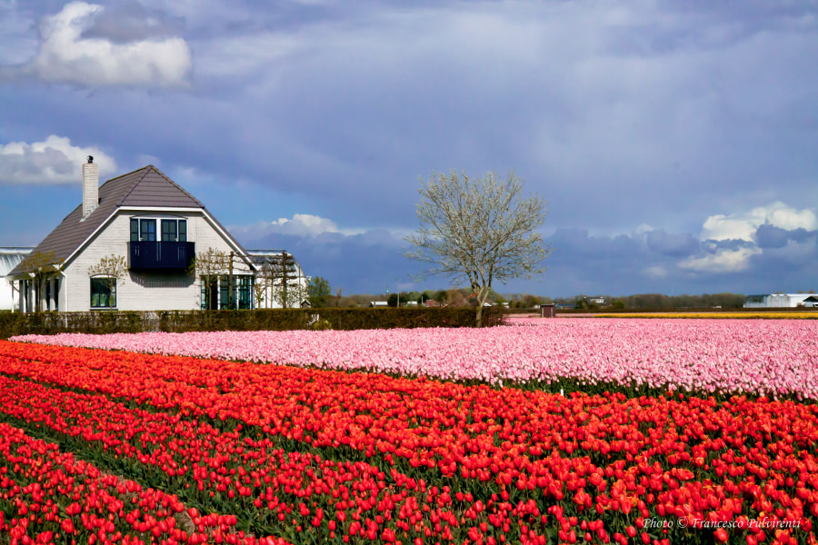 Photograph Land of tulips-Lisse-Holland by Francesco Pulvirenti on 500px