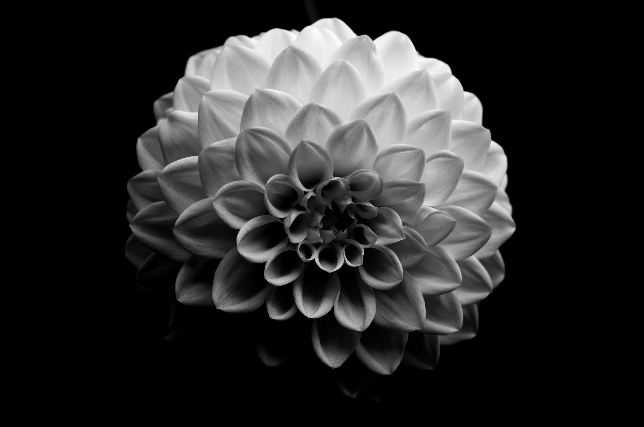 Photograph Dahlia by pon0927 on 500px