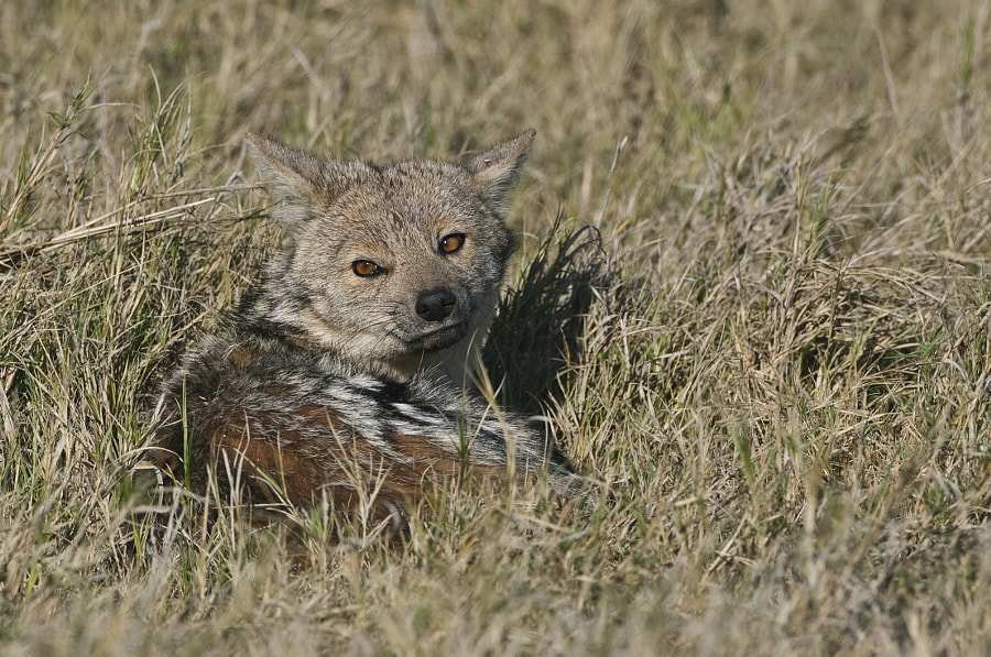 So comfy that it decided not to move off as we got nearer, taken in Kwara concession, Botswana