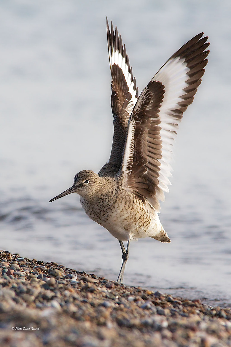 Photograph Willet by Denis Rivard on 500px