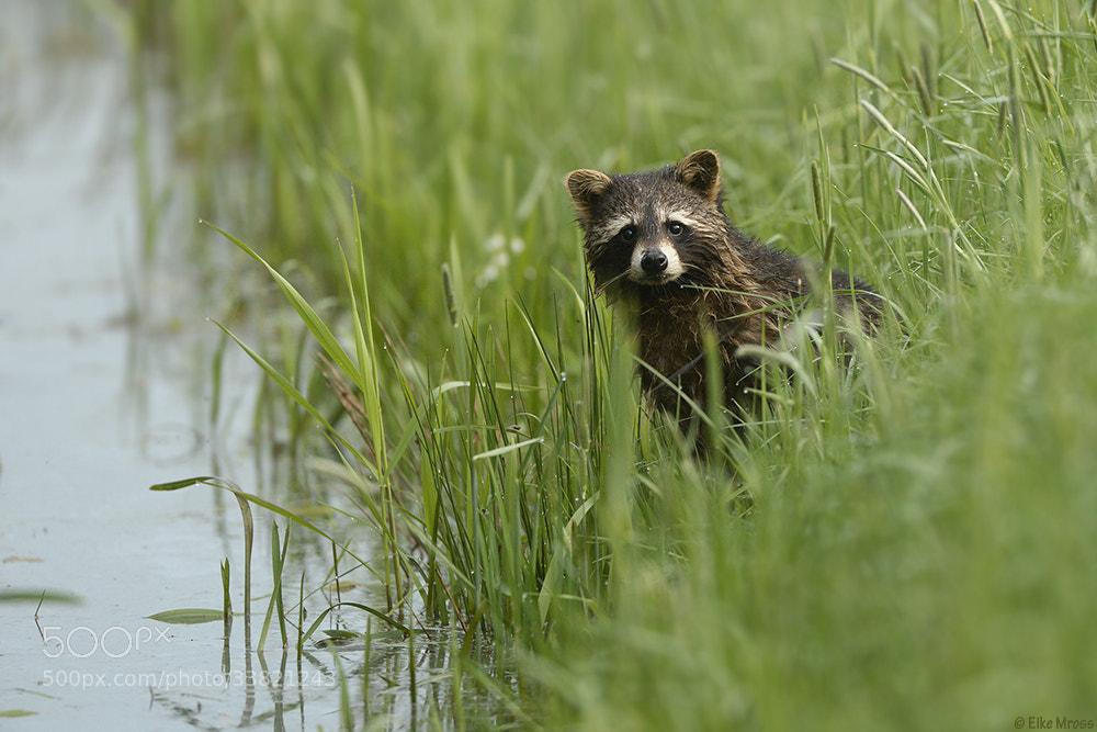Photograph Raccoon by Eike Mross on 500px