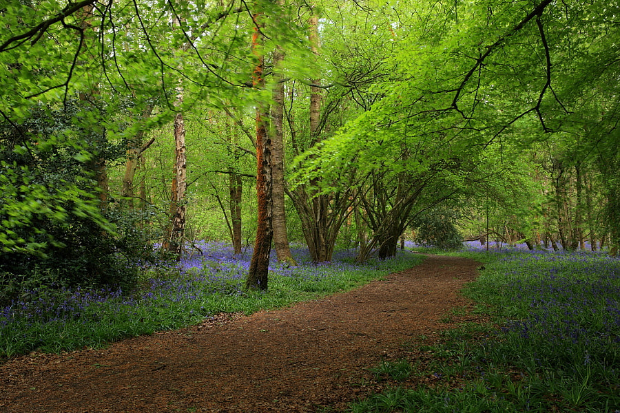 Bluebell Path, Whippendell Woods