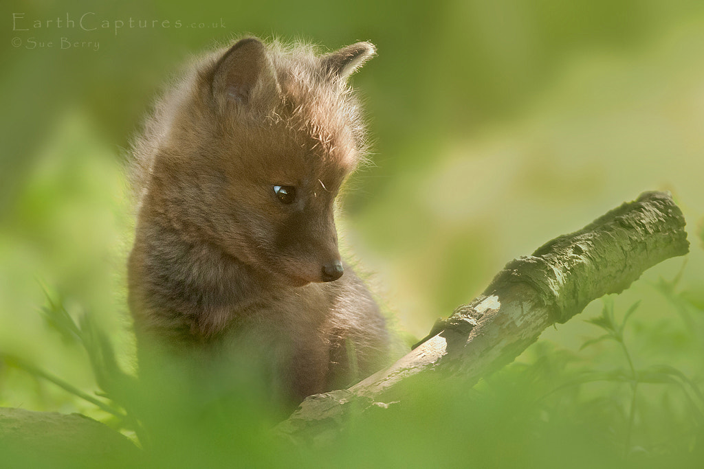 Photograph Fox Cub by Sue Berry on 500px