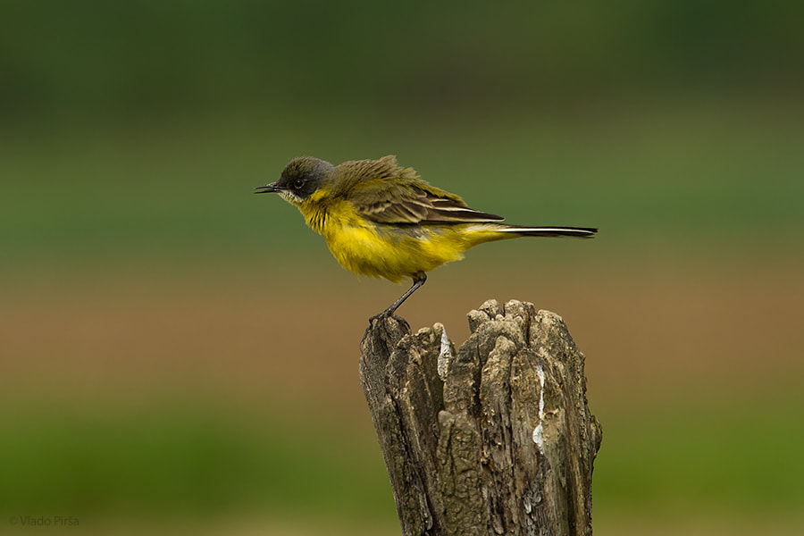 Photograph yellow wagtail by Vlado Pirša on 500px