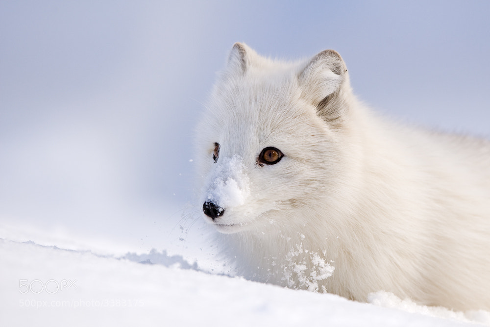 Photograph Arctic fox by René Visser on 500px