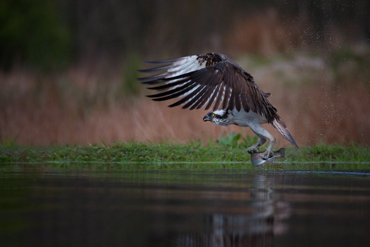 Photograph Osprey by Billy Currie on 500px