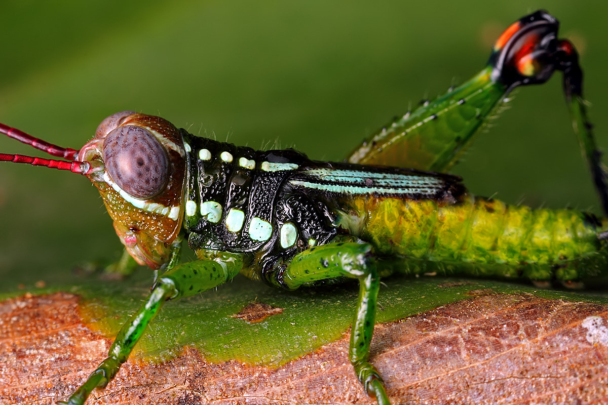 Photograph Grasshopper by Paulo Torck on 500px