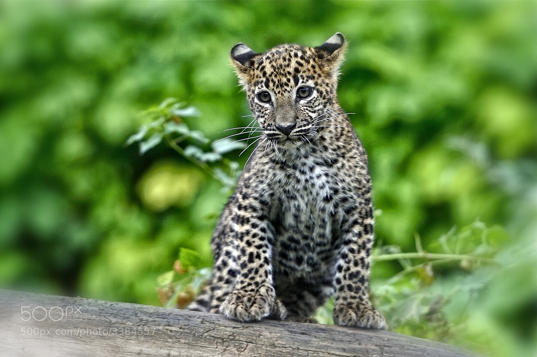 Photograph Sri Lanka Leopard Cub by Josef Gelernter on 500px