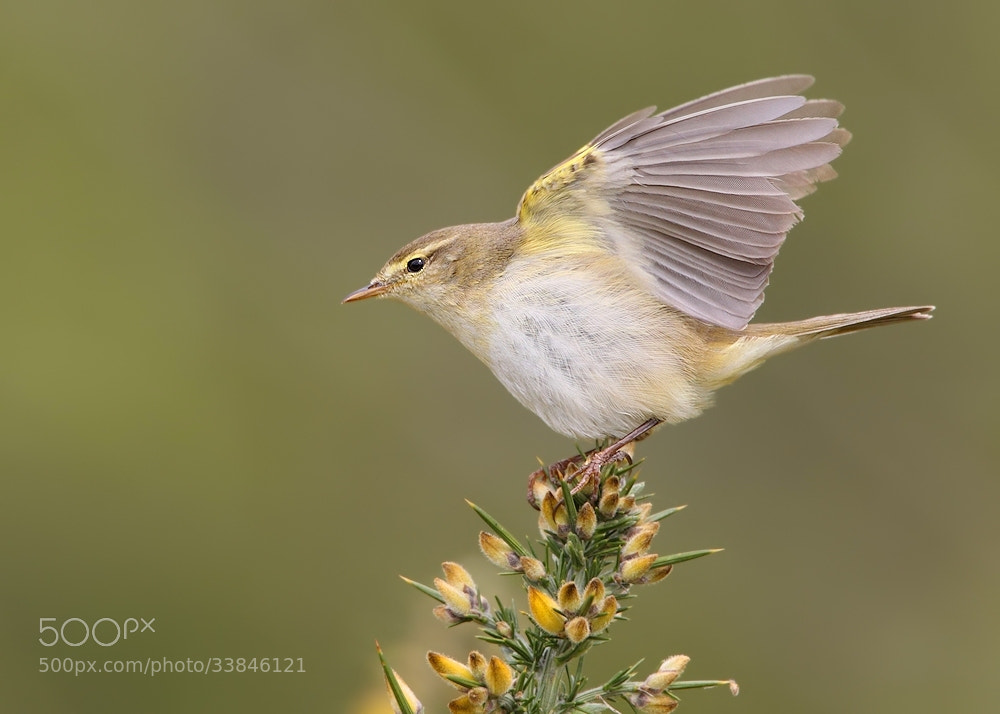 Photograph Willow Warbler by Karen Summers on 500px