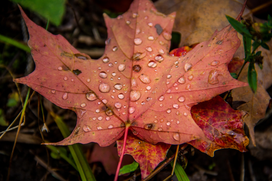 Photograph Wet Maple Leaf by Maxwell Danger on 500px