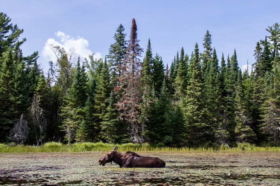 Photograph Moose by Maxwell Danger on 500px