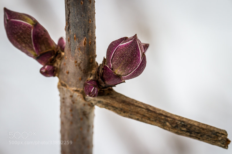 Photograph Winter Buds by Maxwell Danger on 500px