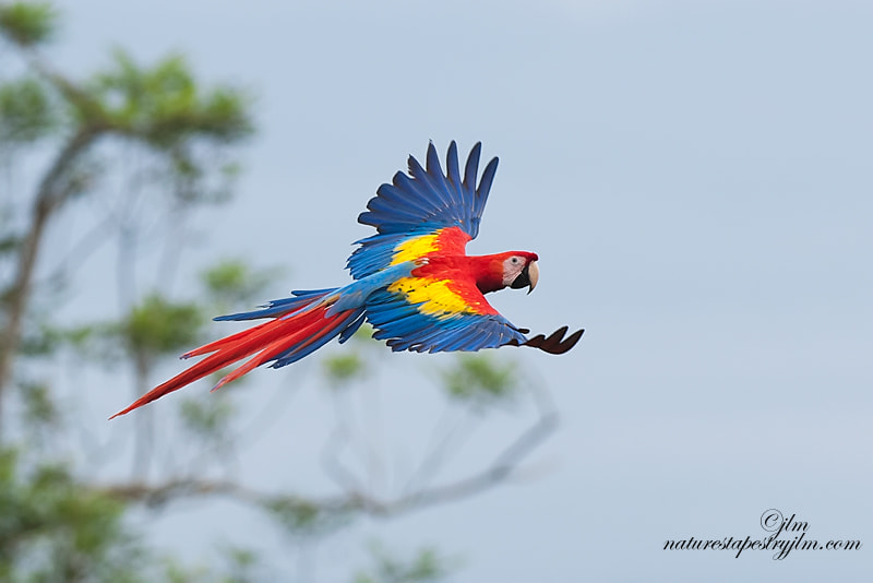 The is was an image captured during our recent trip to Costa Rica.  What a thrill it was to see this beautiful scarlet macaw flying about freely .  They are a magnificent bird but their beauty is even more obvious when their wings are spread wide and you can see  the wonderful tail feathers and if you are able to see the topside the gorgeous bands of red , yellow and blue.  What a privelge it was for us to see them in the air.  If you did not see them you were sure to hear them !!!!!