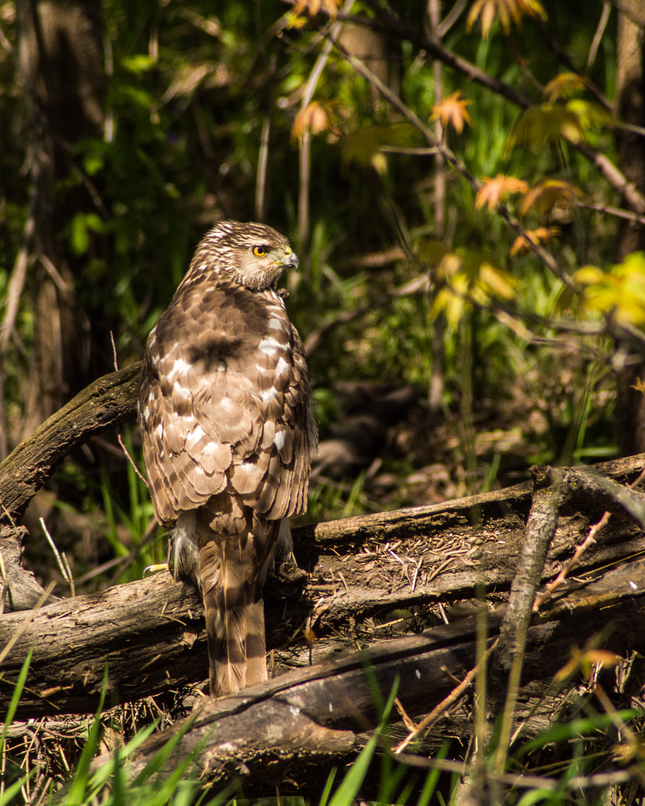 Photograph Broad-winged Hawk by Ryan Kimber on 500px