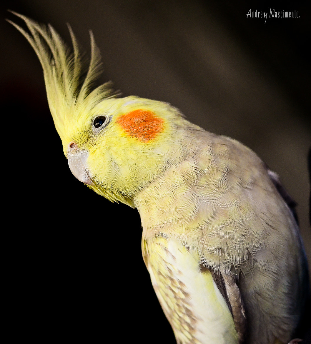 Photograph Cockatiel by Andrey Nascimento on 500px