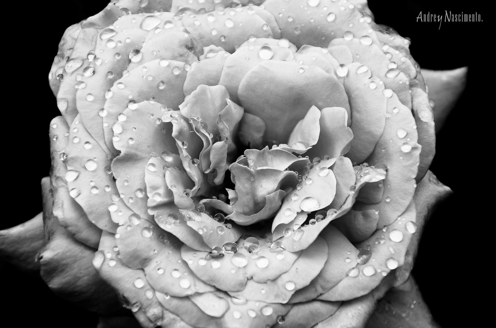 Photograph B&W Rose - Water Drops by Andrey Nascimento on 500px