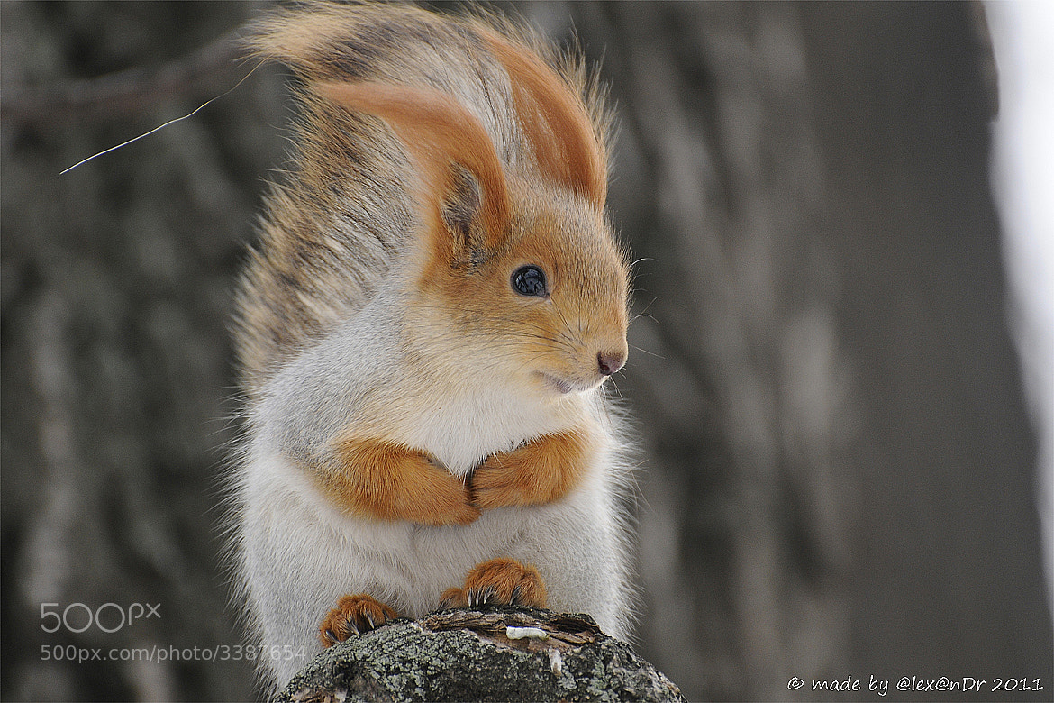 Photograph Squirrel by Alexander Luzhin on 500px
