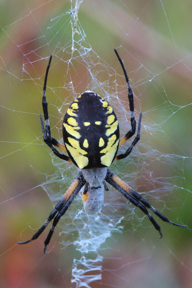 Photograph Black and yellow Garden spider   by Paul Wyman on 500px