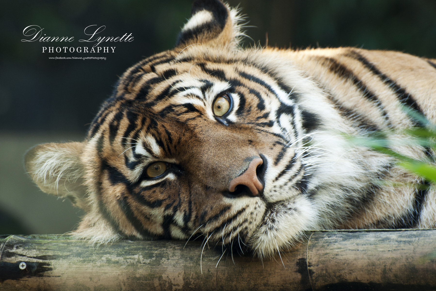 Photograph Tiger by Dianne Lynette on 500px