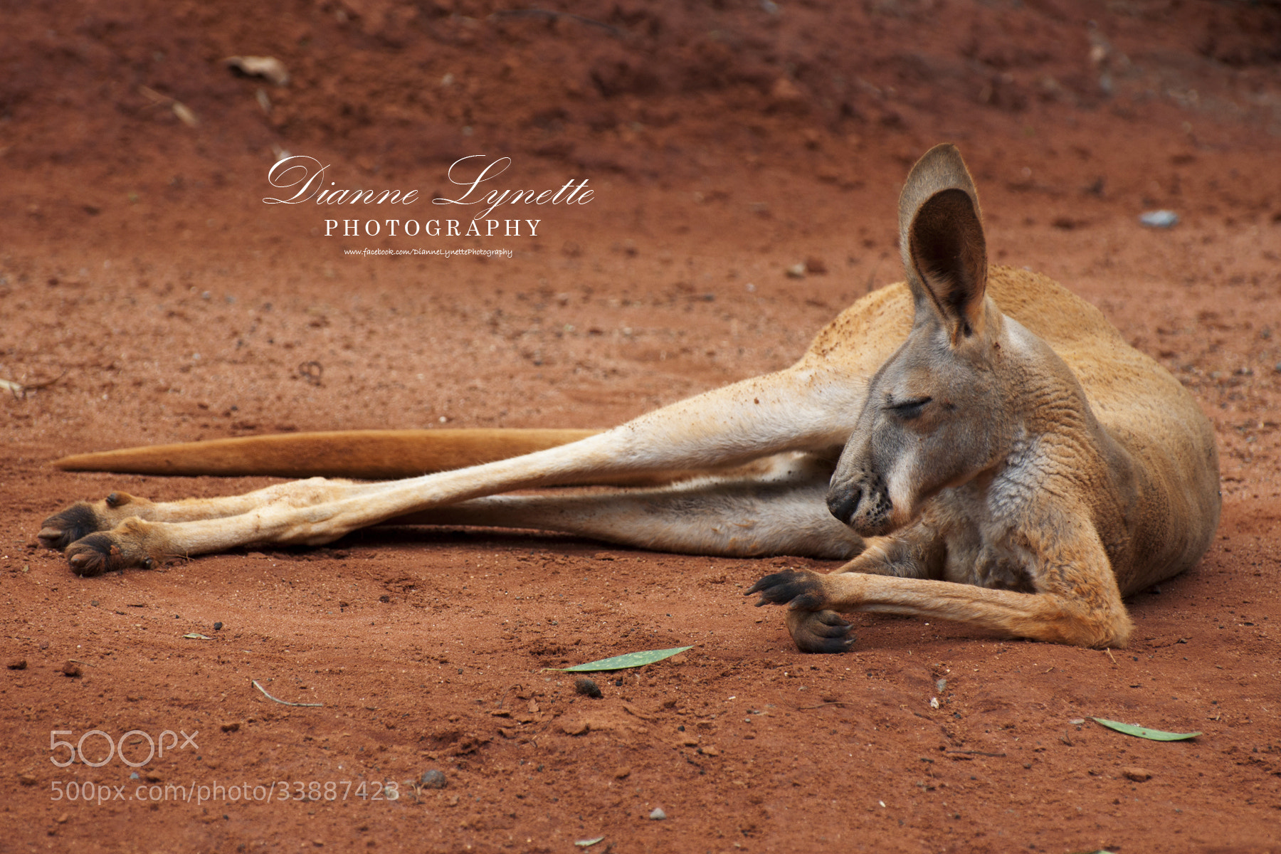 Photograph Kangaroo by Dianne Lynette on 500px