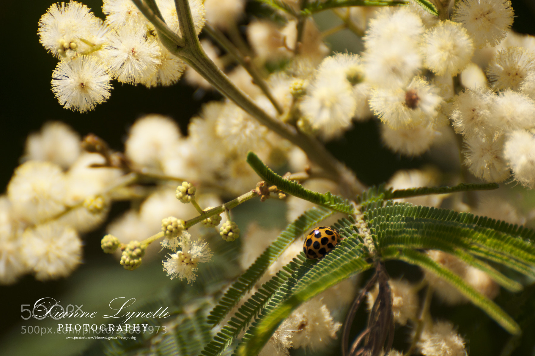 Photograph Ladybug by Dianne Lynette on 500px